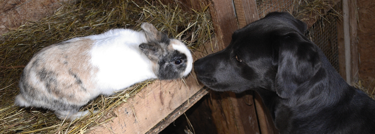 Labrador mit Hase