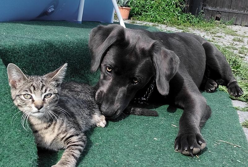 Labrador Welpe Elli 7