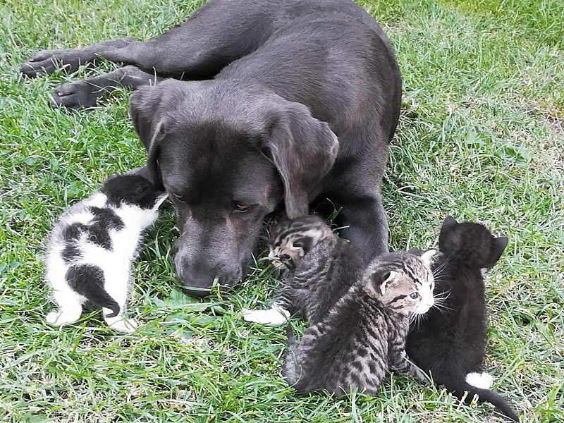 Labrador Welpen Aufzucht 2