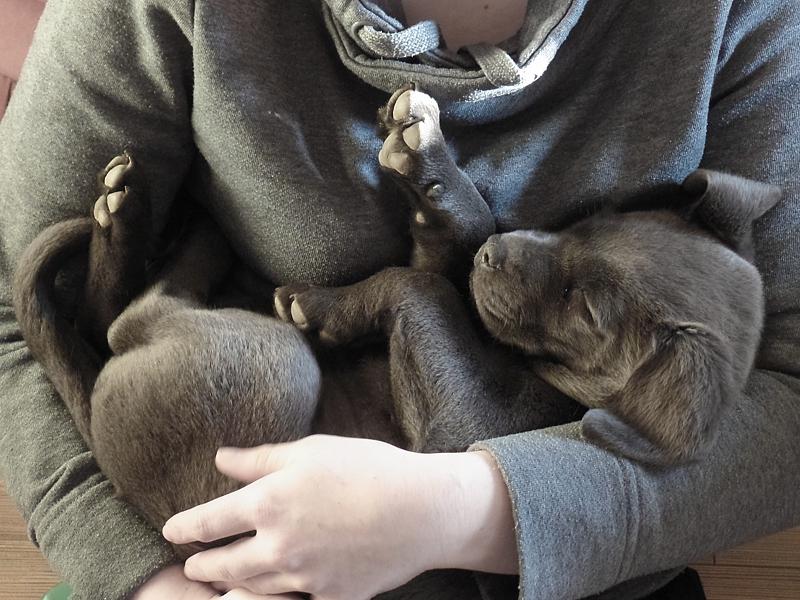 Labrador Welpe Elli 1