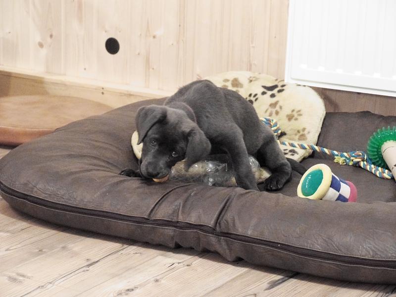 Labrador Welpe Elli 3